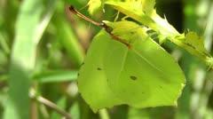 Brimstone - Gonepteryx rhamni Stock Footage