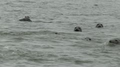 Seals Swimming - stock footage
