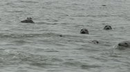 Stock Video Footage of Seals Swimming