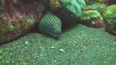 Stock Video Footage of Honeycomb moray