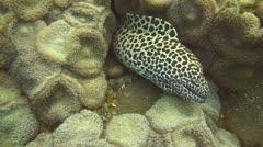 Honeycomb moray Stock Footage