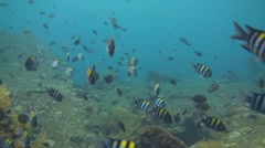 Indo pacific sergeantfish - stock footage
