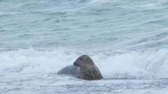 Grey seal Stock Footage