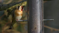 Goldfinch eating nyger seed, extreme close up 2 Stock Footage