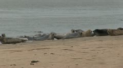 Seals on a Beach - stock footage