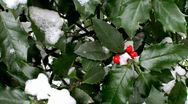 Stock Video Footage of Snow covered Berries in Bush