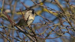 The House Sparrow (Passer domesticus), on a twig, slomo Stock Footage