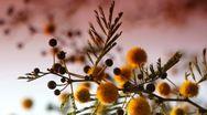 Mimosa sunrise 3 Stock Footage