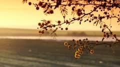 Mimosa sunrise 2 Stock Footage