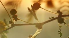 Mimosa sunrise Stock Footage
