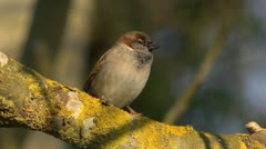 The House Sparrow (Passer domesticus), on a branch,sunny. Stock Footage