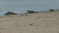 Grey Seals on Scottish Beach - stock footage
