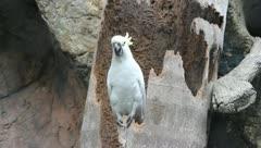 Cockatoo - stock footage