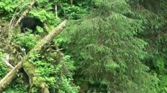 Black bear, rain forest Stock Footage