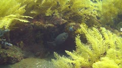 Blackspotted puffer Stock Footage