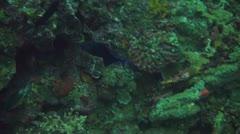 Redtooth triggerfish Stock Footage