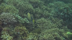 Stock Video Footage of Regal angelfish