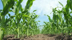 Green Corn Field Stock Footage