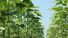 Green Sunflower Field - stock footage