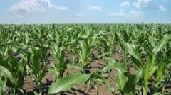 Green Corn Field - stock footage