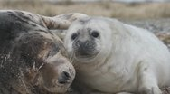 Stock Video Footage of grey seal