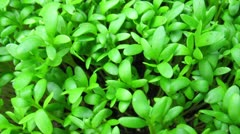growing salad plant moving - stock footage