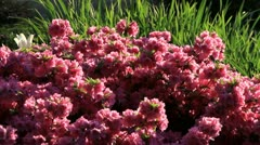 Pink Azaleas Stock Footage