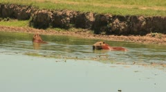 Capybara in water Stock Footage