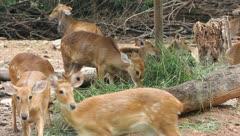 Deers are eating - stock footage