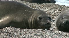 Argentinean fur seal Stock Footage