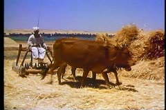 Egyptian drives a team of cattle to thrash wheat outside of Luxor, Egypt 108052 Stock Footage