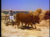 Stock Video Footage of Egyptian drives a team of cattle to thrash wheat outside of Luxor, Egypt 108052