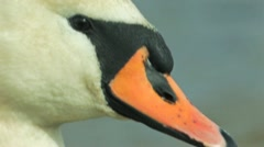 Mute Swan Close-up - stock footage