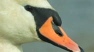 Stock Video Footage of Mute Swan Close-up