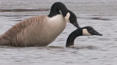 Canada Goose Mating Stock Footage
