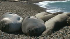 seal rookery - stock footage