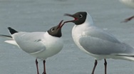 Stock Video Footage of Black Headed Gull