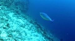 Sleek unicornfish Stock Footage
