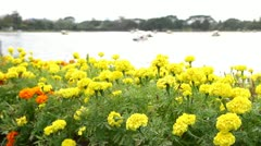 Yellow marigold swaying in the evening - stock footage
