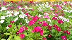 Colorful Petunias swaying in the breeze Stock Footage