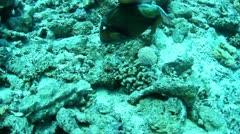 Titan triggerfish Stock Footage