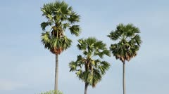 Sugar palm tree with blue sky Stock Footage