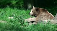 Stock Video Footage of Wolf bites bear close up sunny forest meadow