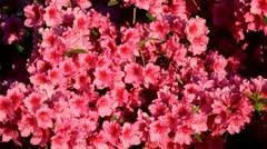 Pink Azaleas Bloom in New York City Stock Footage