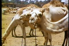 Camels at a camel market outside of Luxor, Egypt 108102 Stock Footage