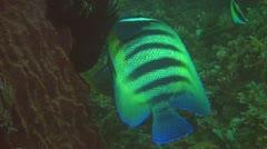 Six-banded angelfish Stock Footage