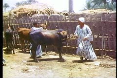 Arab inspect cattle before purchasing, a livestock market, Luxor 108106 Stock Footage