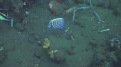 Emperor angelfish Stock Footage