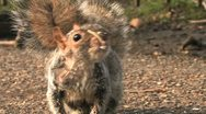 Old squirrel eating Stock Footage