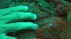 Durban hinge-beak prawn Stock Footage